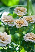 Cream rose flowering in garden
