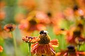 Hummel auf Blüte von Sonnenbraut 'Waltraud'