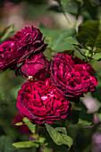 Flowering shrub rose