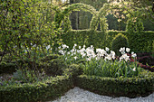 Knot garden with peacock-eye daffodils and a Japanese knotweed as a border