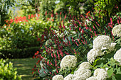 Bed with hydrangea 'Annabelle' and knotweed