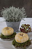 Small, white pumpkins and moss in flan tins in front of barbed wire plant