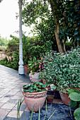 Flowering jasmine in planter on terrace