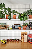 Various foliage plants in terracotta pots on shelves above kitchen worksurface