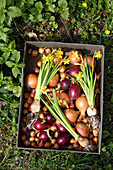 Onions, flower bulbs and flowering narcissus in tin box