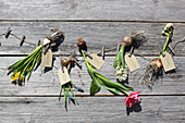 Spring flowers and their bulbs on wooden surface