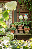 Collection of miniature hostas in terracotta pots outside garden shed