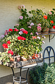 Standing geraniums on the house wall