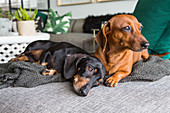 Two dachshunds on blanket on sofa