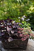 Basket planted with oxalis, saxifrage and Australian violets