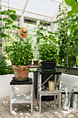 Potted basil on plant stands in sunny greenhouse
