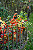 Bed of physalis next to paling fence