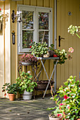 Plants on stands outside yellow summerhouse in late summer