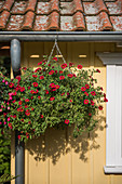 Hanging basket of red petunias hung from guttering of summerhouse