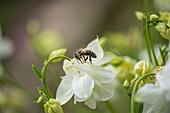 Biene an weißer Blüte von Akelei
