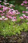 Mossy saxifrage in garden