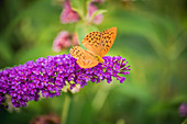 Silver-washed fritillary on blossom of Summer lilac