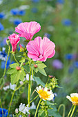 Rose mallow and tansy flowers