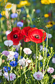 Poppies, cornflowers and tansy in wildflower meadow