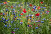 Blumenwiese mit Büschelschön, Kornblumen, Klatschmohn