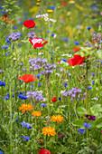 Blumenwiese mit Büschelschön, Kornblumen, Klatschmohn, Ringelblumen