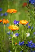 Blumenwiese mit Ringelblumen und Natternkopf