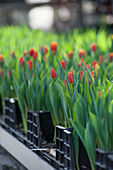 Tulips ready for cutting in greenhouse