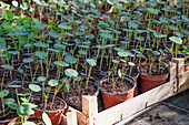 Potted nasturtiums seedlings being started in greenhouse