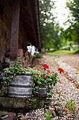 Trailing plants and geraniums planted in old containers in garden