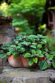 Plant (Plectranthus ciliatus 'Nico') in terracotta pot on stone wall