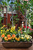 Violas, pansies, narcissus 'Tete a Tete' and parrot tulips in rusty metal trough
