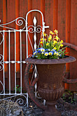 Violas and narcissus 'Tete a Tete' in rusty urn