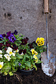 Violas ready for planting