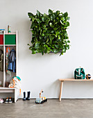 Devil's ivy in square green wall planter in cloakroom