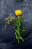 Giant knapweed (Centaurea macrocephala) on dark surface