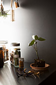 Small bay tree in soil and jars of dried herbs