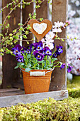 Viola 'Violet blue' planted in small bucket with heart-shaped decoration