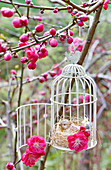 Ornamental bird cage hung in flowering peach 'Melred' tree