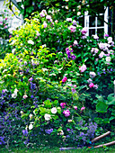 Roses and catmint growing in garden