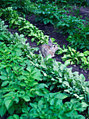 Wild rabbit sitting between rows of vegetables in vegetable patch