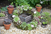 Wreath of various houseleek plants with moss and snail shells
