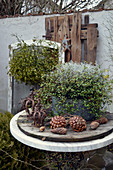 Potted maidenhair vine and silver ragwort decorated with pine cones and iron crowns