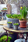 Early spring arrangement of hyacinths planted in zinc containers and narcissus in terracotta pot