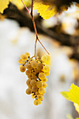 Bunch of ripe grapes hanging on vine