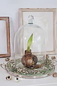 Sprouting amaryllis bulb under glass cover in wreath of broom flowers