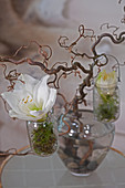 Amaryllis flowers in small jars hung from branch of contorted hazel in glass vase