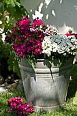 Bouquet of sweet Williams in zinc bucket