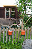View of donkey and farm shop behind paling fence