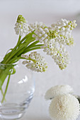Posy of white grape hyacinths in glass vase