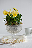 Yellow violas in glass sweet jar with structured surface